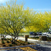Great Design Plant: Desert Museum Palo Verde Offers a Colorful Canopy