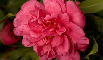 Alabama Beauty™ Camellia Camellia sasanqua Alabama Beauty™
