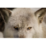 "Pi Photography Wall Art and Fine Art - ""Wolf Eyes"" (Timber Wolf) Wildlife Photography Unframed Wall Art Print, 24""x36"" - ""Wolf Eyes"" Wildlife Photography - Luster Photo Paper Unframed Wall Art Print"