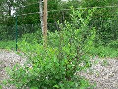 Carmine Jewel Cherry Tree