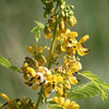 Great Design Plant: Senna Hebecarpa Puts on a Magical Show