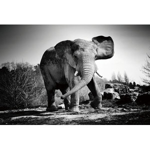 Black and White Elephant Wall Art, Angry Elephant, 120x80 cm