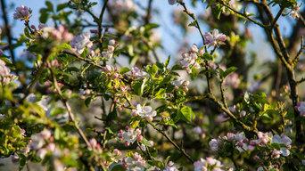 Floraison pommiers poiriers