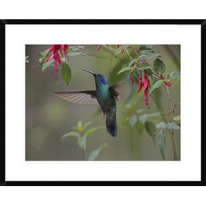Green Violet Ear Hummingbird Foraging Costa Rica By Tim Fitzharris 17x13 Tropical Prints And Posters By Global Gallery