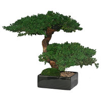 Double Monterey Bonsai