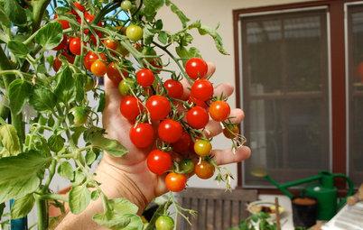 Comment cultiver des tomates ?