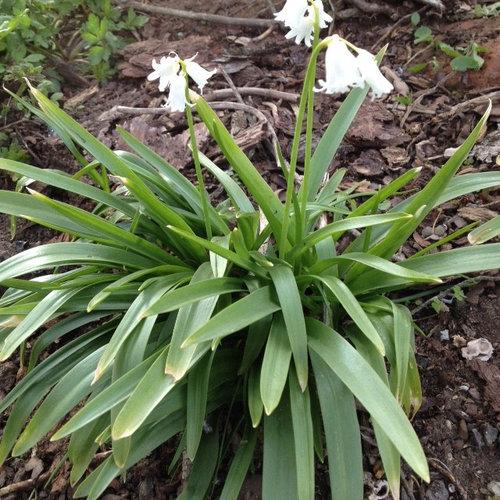 Small White Flowering Bulbs