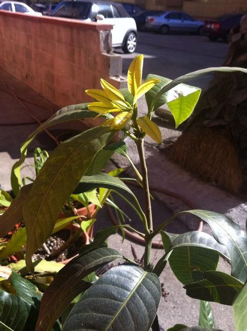 First Mango Tree Los Angeles