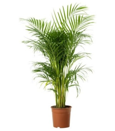 Fancy Modern Areca Palm Tree