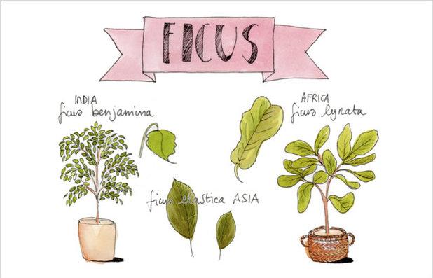Il Ficus Terza Puntata Di Giardinaggio Illustrato