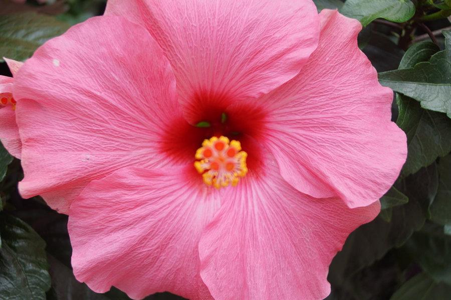 Hibiscus som er velegnet til sommerblomster i krukker og bed.