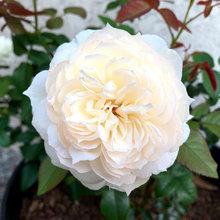 Rose - Bolero