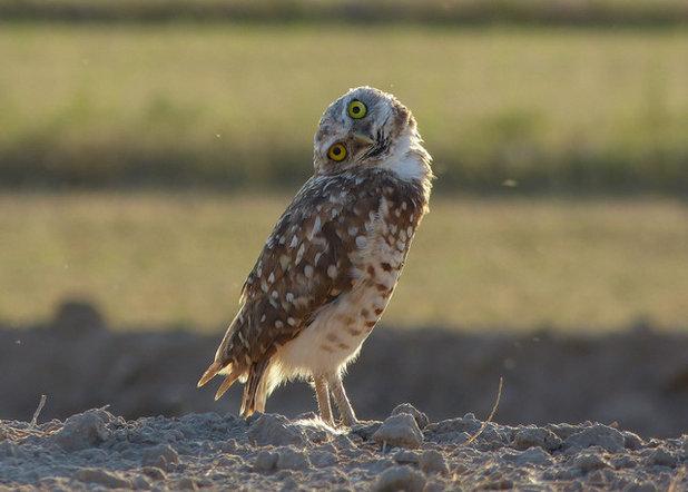 Burrowing owl (tilting head left)