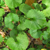 Do You Have This Invasive Plant in Your Yard?