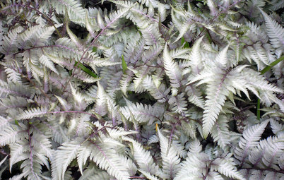 Great Design Plant: Japanese Painted Fern Weaves a Garden Tapestry