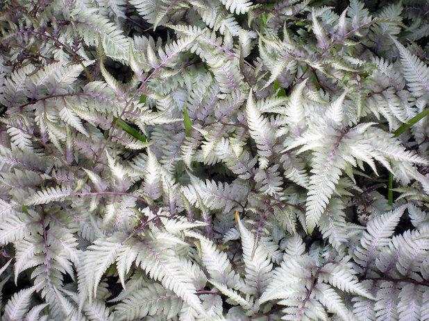 Japanese painted fern (Athyrium niponicum 'Pictum')