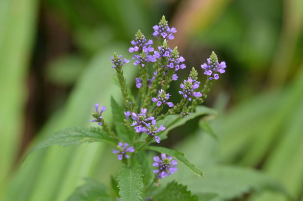 Great Design Plant: Blue Vervain for Beauty and Bees