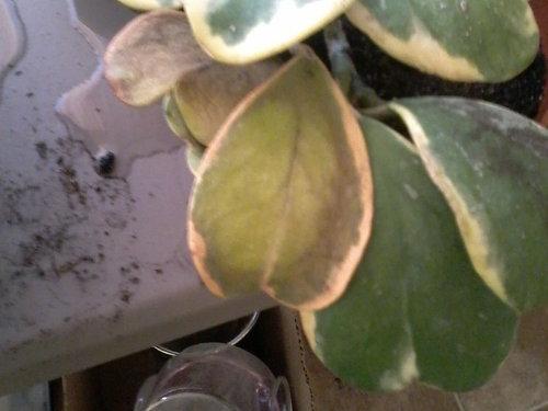 Hoya Kerrii Leaves Turning Brown