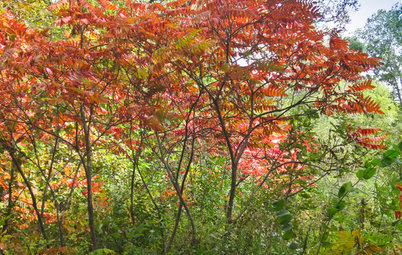 Rhus Hirta Provides Brilliant Foliage Color in Autumn