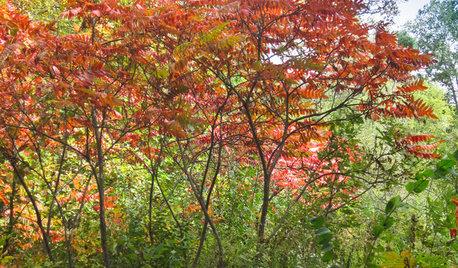 Rhus Hirta Provides Brilliant Foliage Color in Autumn