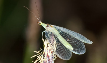Look Out for Lacewings: Beneficial Insects Coming to a Garden Near You