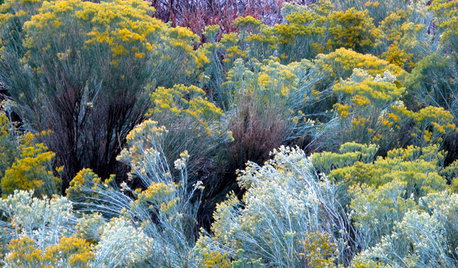 Plant Rubber Rabbitbrush for Its Brilliant Blaze of Gold in Fall