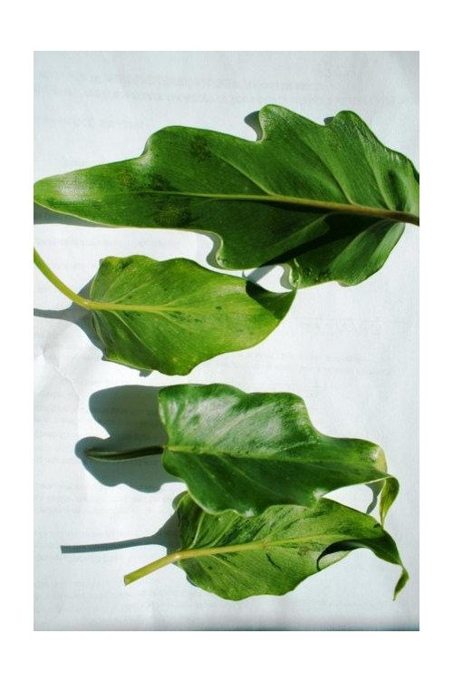 philo xanadu leaf spots on