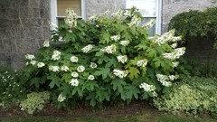 Oak Leaf Hydrangea Transplant Help