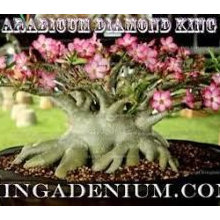 Dino_Diamond King Arabicum