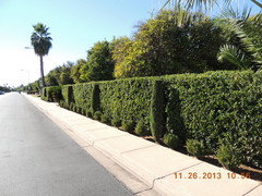 Best Plant For Security/ Screen Hedge in Full Sun