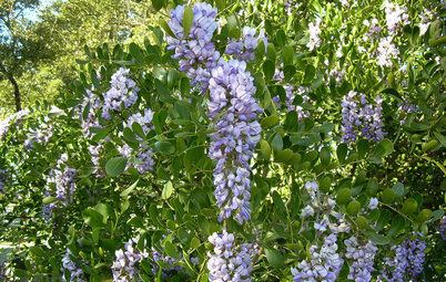 Great Design Plant: Texas Mountain Laurel