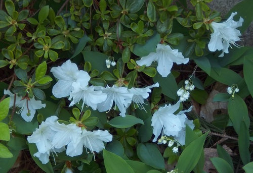 Shrub with white flowers today eastern massachusetts in the photo the big white flowers and small leaves are the shrub that i want ided the small white flowers and big leaves are lily of the valley mightylinksfo