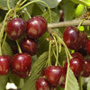 How to Grow Your Own Luscious Cherries