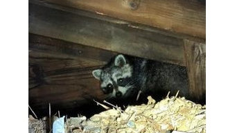 Western Mass Wildlife Removal