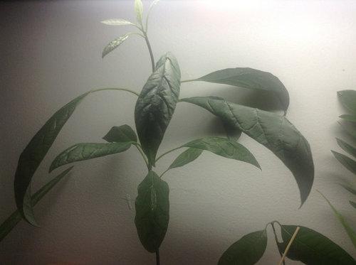 Avocado Leaves Curling Down