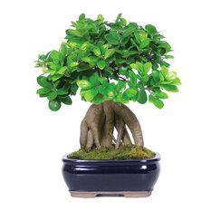brussels bonsai ginseng grafted ficus bonsai tree plants