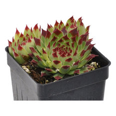 Sempervivum, Sir William Lawrence - Hens and Chicks