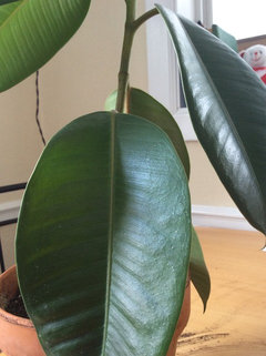 Drooping leaves on my rubber plant  Help!