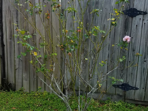 Pruning And Caring For Neglected Rose Bush