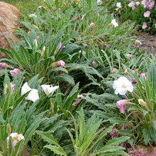10 Cold- and Heat-Tolerant Perennials and Shrubs for the Arid West
