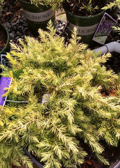 Great Design Plant Juniperus Conferta Golden Pacific