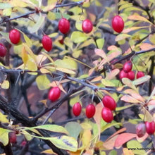 Japanese Barberry - an invasive shrub in the Hudson Valley NY
