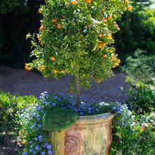 Grow citrus