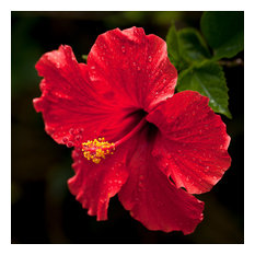 """Red Hibiscus, Canvas Giclee, 12""""x12"""""""