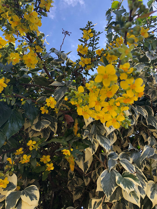 Yellow Flowering Shrub Identification