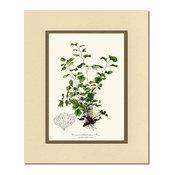 Vintage Botanical Fern Art Print: Common Maidenhair Fern