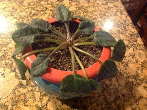 What Is Wrong With My African Violet
