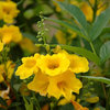 Great Design Plant: Yellow Bells, a Screening Queen