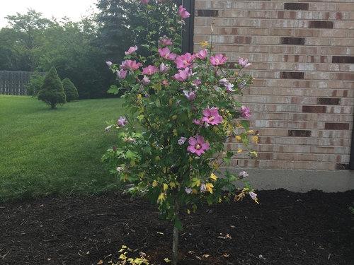 Rose Of Sharon Tree Leaves Turning Yellow
