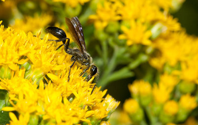 Meet the Grass-Carrying Wasp, a Gentle Pollinator of Summer Flowers